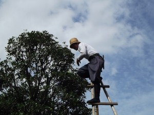 elagage arbre fruitier