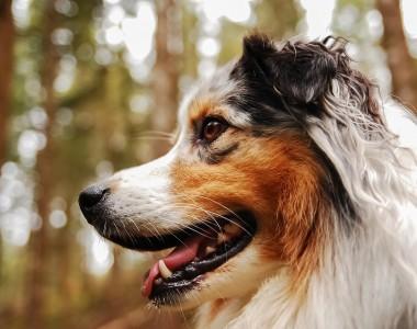Berger australien, une race de canin qui a besoin de mutuelle chien