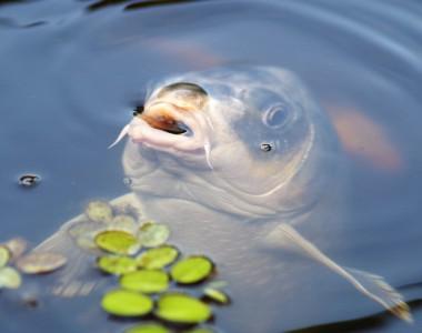 Quels matériels pour la pêche à la carpe?